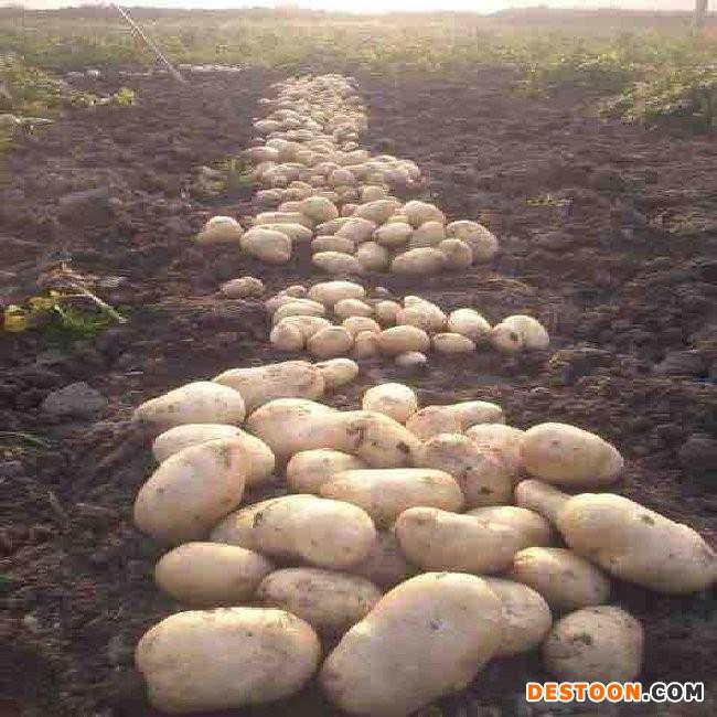 马铃薯供应信息 ()