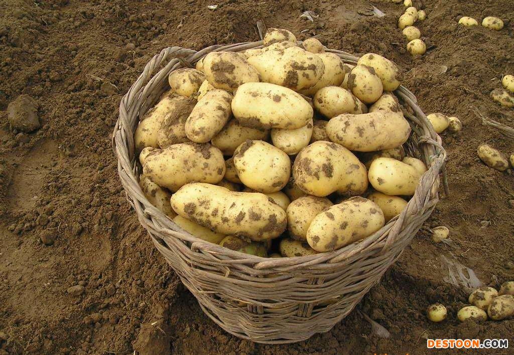 自家种的马铃薯 ()