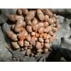 冀张薯226土豆原种