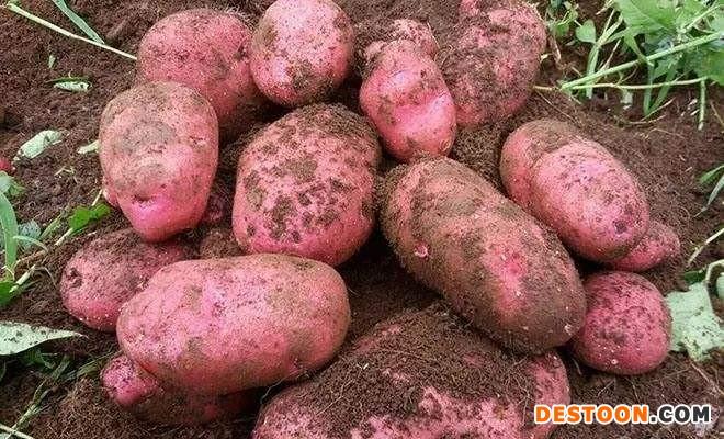 求购红皮土豆不限地区 ()