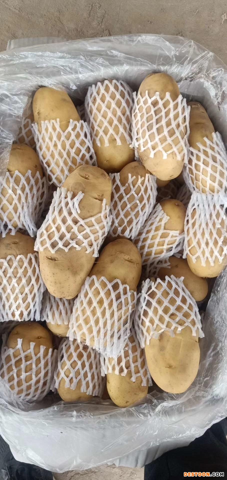 大量供应荷兰十五土豆 ()