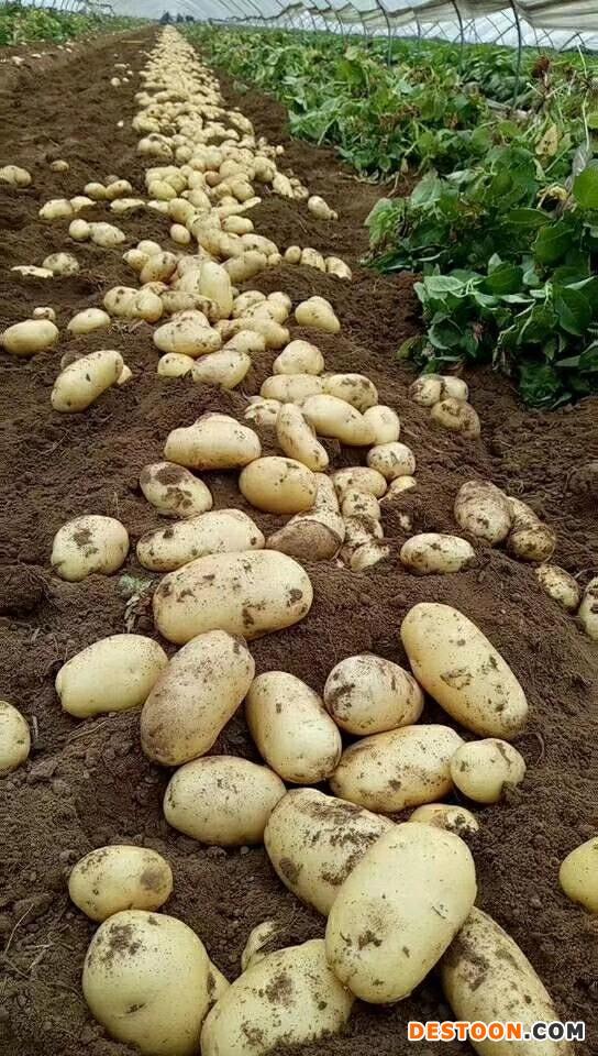 本人大量供应出售荷兰十五土豆全国发货 ()