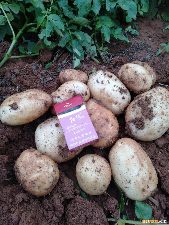大量丽薯6号土豆出售15108800025 ()