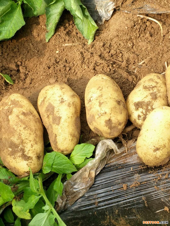 大量批发土豆 ()