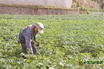 云南曲靖:6500亩马铃薯丰收在即