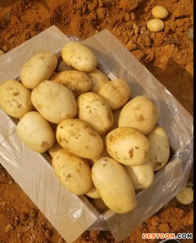 本人大量供应丽薯6号合作88 ()