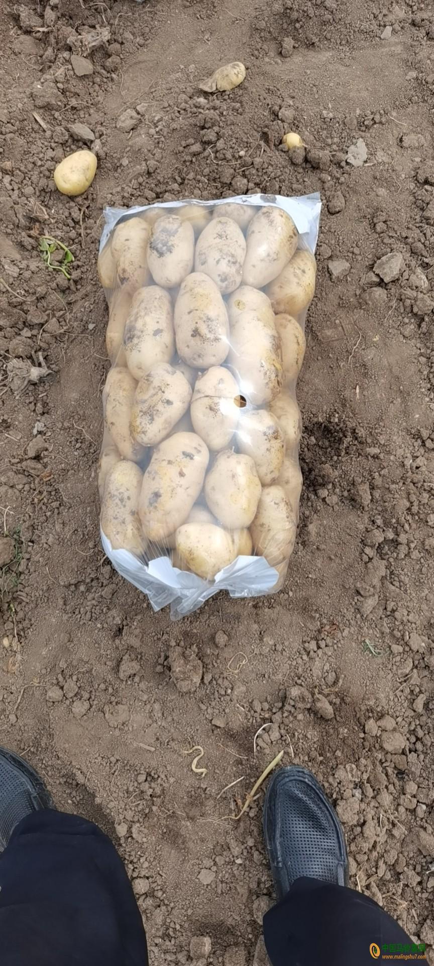 大量供应荷兰土豆 ()
