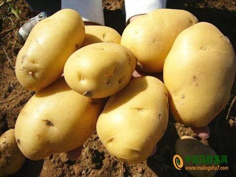 供应优质荷兰土豆15806477948 ()