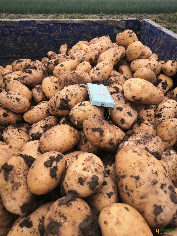 出售荷兰优质土豆 ()