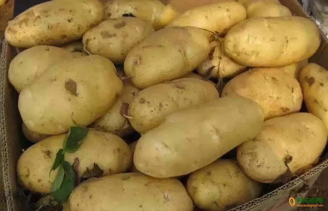 实力代办供应荷兰土豆15806477948 ()