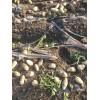 本人大量供应土豆