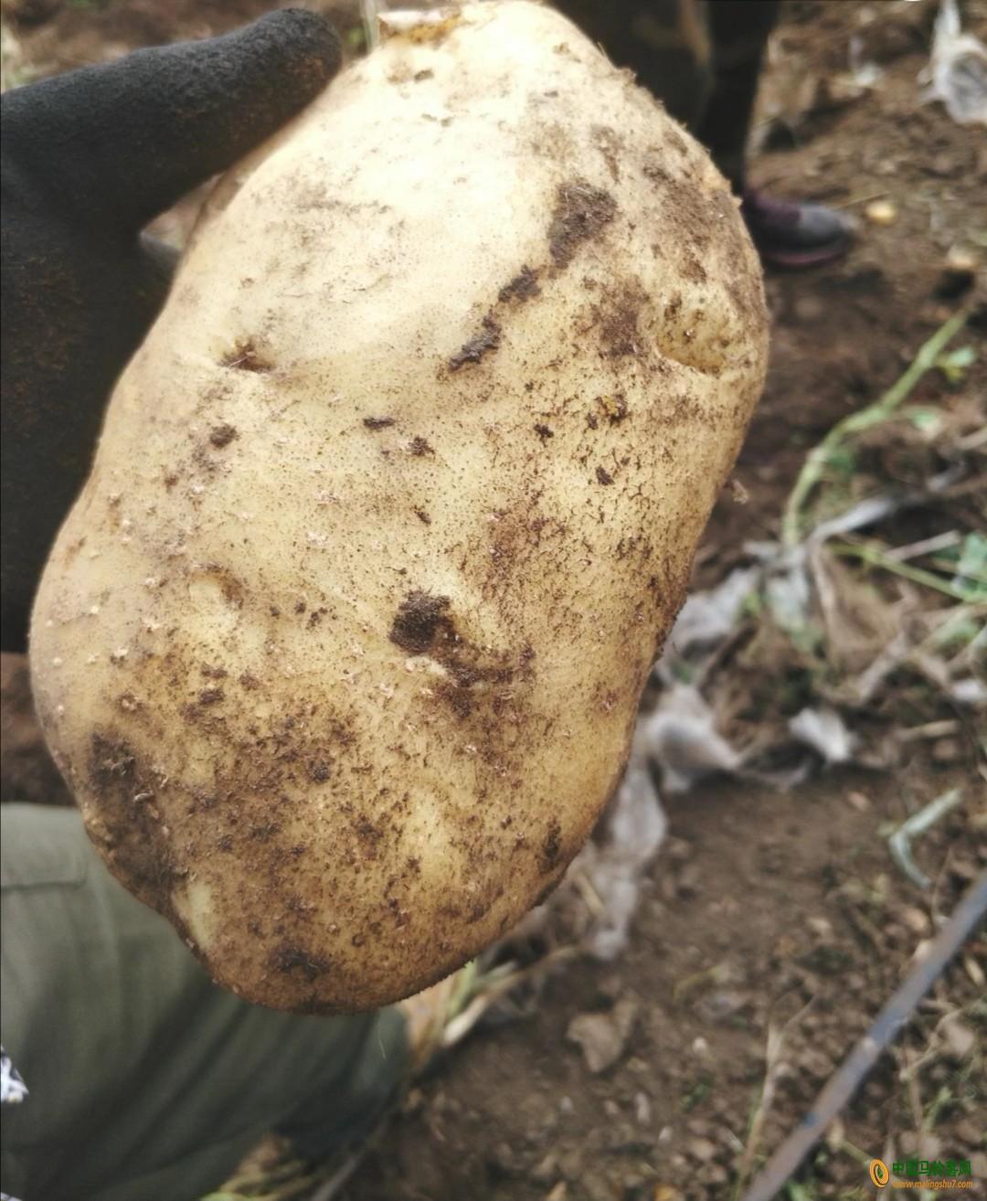 300多吨尤金885马铃薯出售 ()