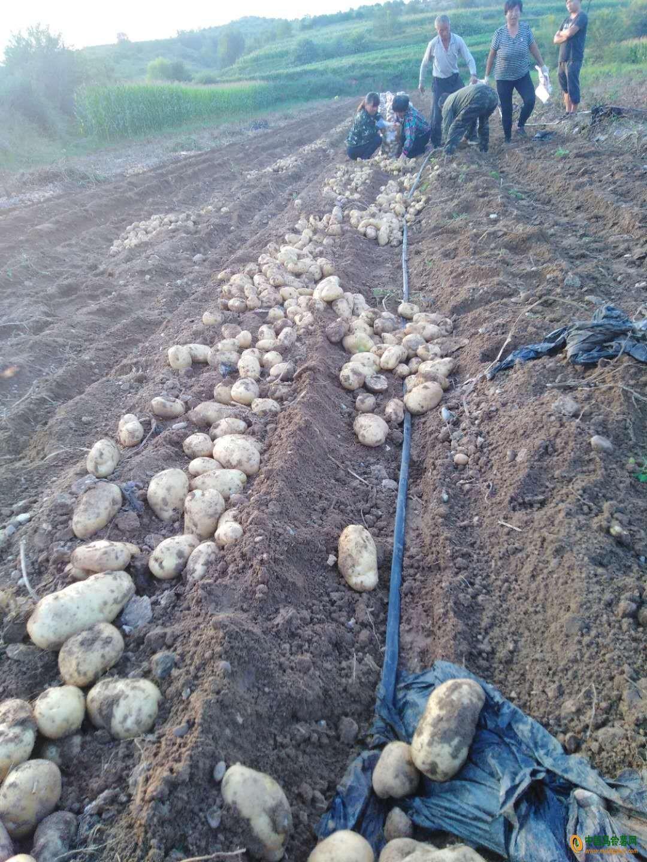 大量供应希森226土豆 ()
