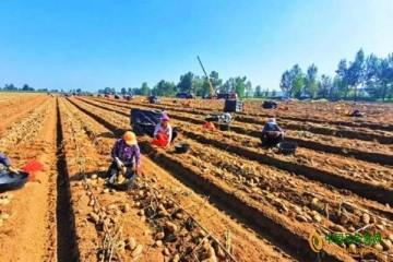 南地村:马铃薯喜迎丰收,进入最佳采挖期