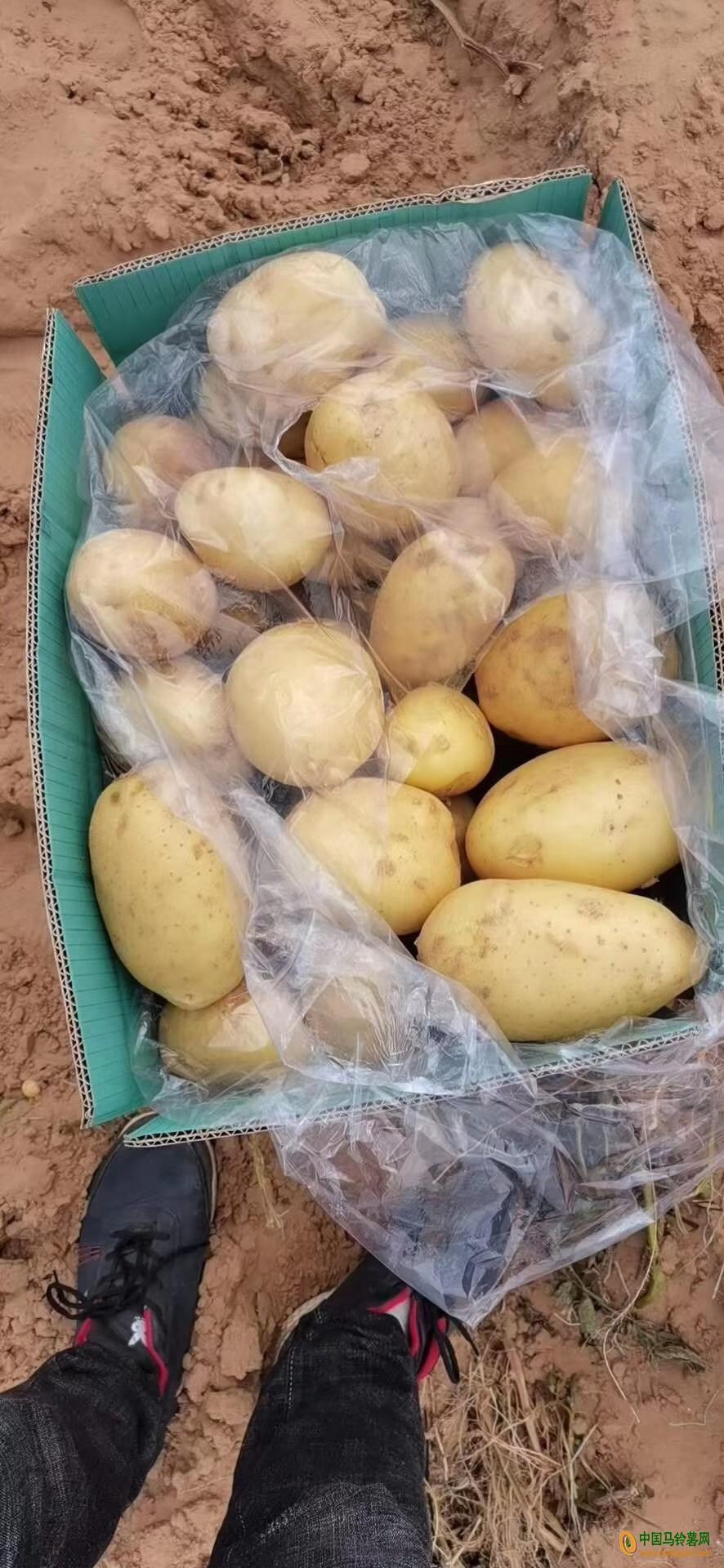本人大量有个种土豆 ()