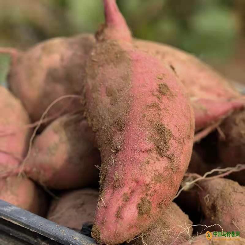 长期求购红薯 ()