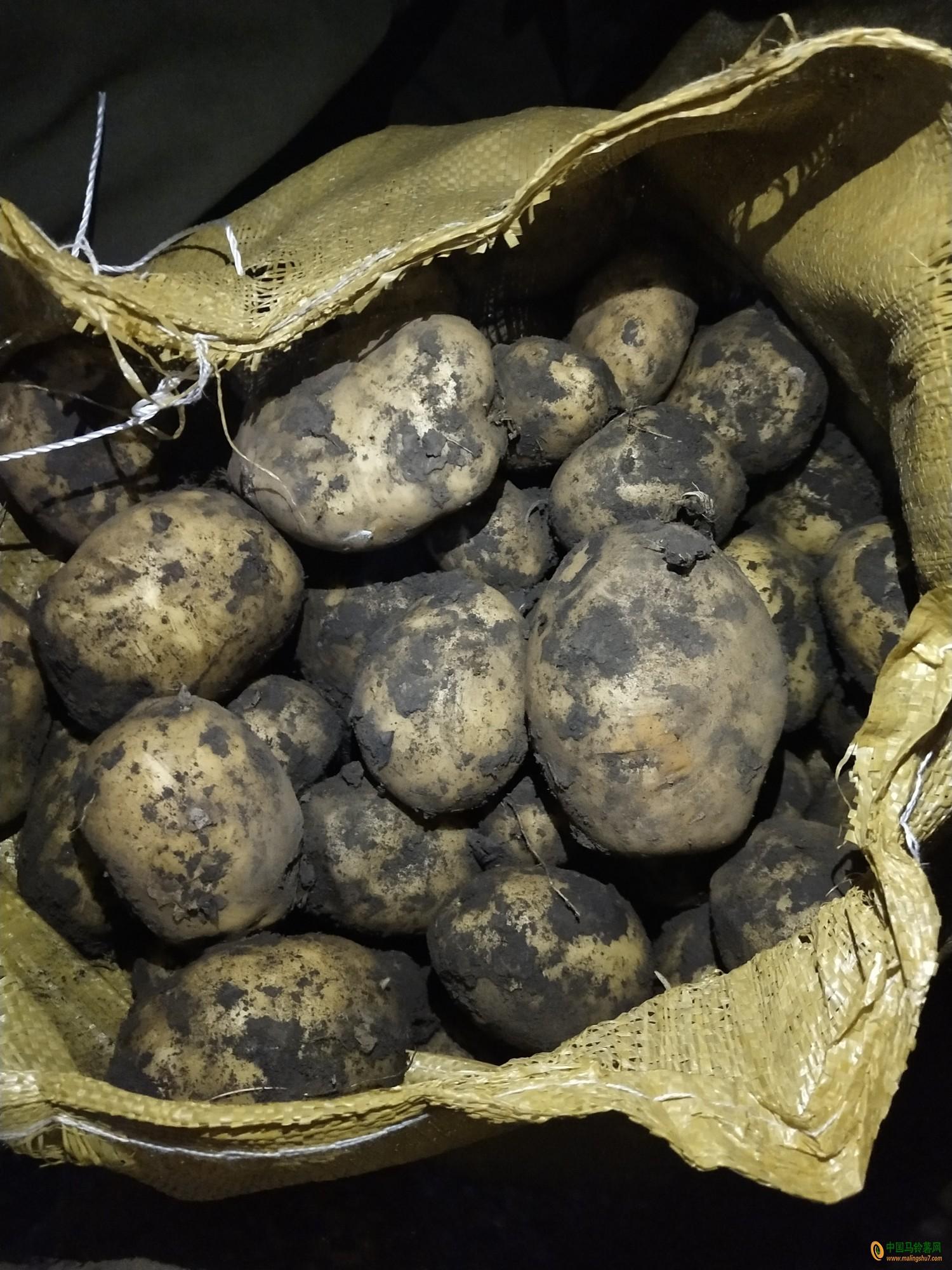 本人大量供应兴佳土豆 ()