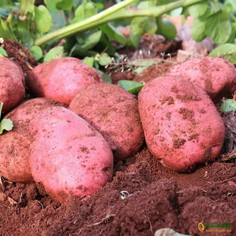 求购红皮土豆 ()