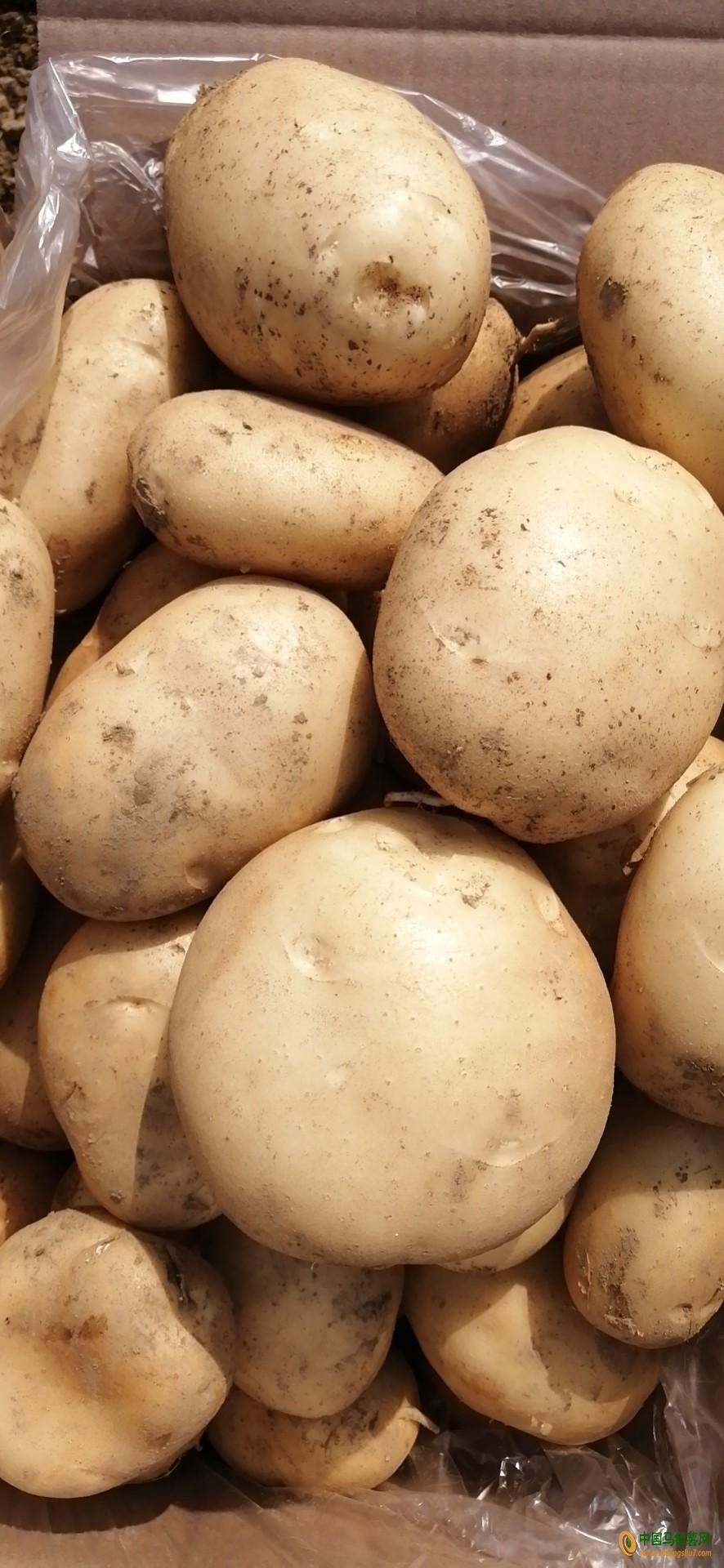 云南德宏州盈江县精品土豆 我是代办小杨 有需要的老板联系我 ()