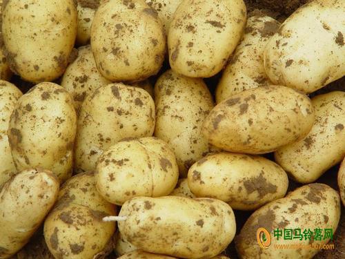 本人大量供应种薯及商品薯 ()