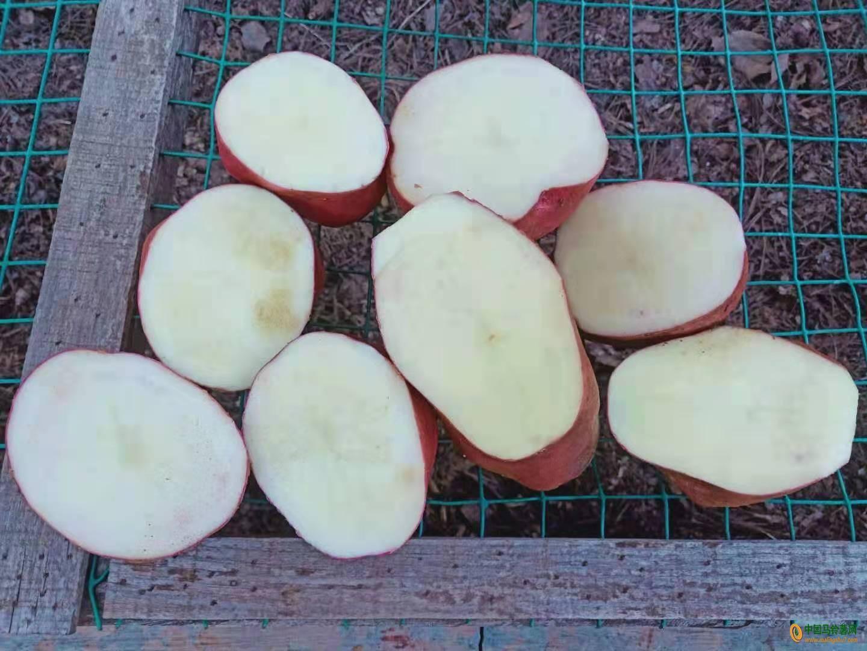 本人大量采购全国各地的马铃薯,土豆。 ()