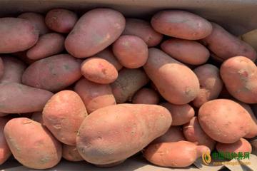 惠东:彩色马铃薯 ()