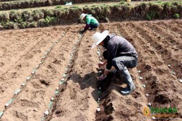 雪山镇:马铃薯新品种示范种植基地