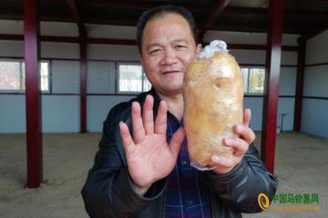 周营:首届马铃薯丰收节热闹开场