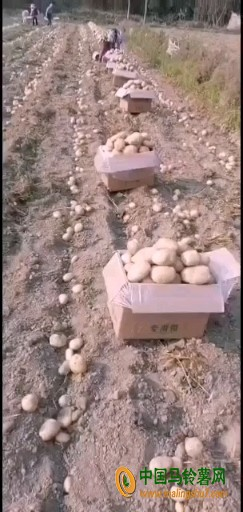 产地直供云南精品土豆 ()