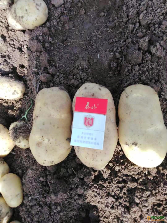 大量荷兰十五土豆上市 ()