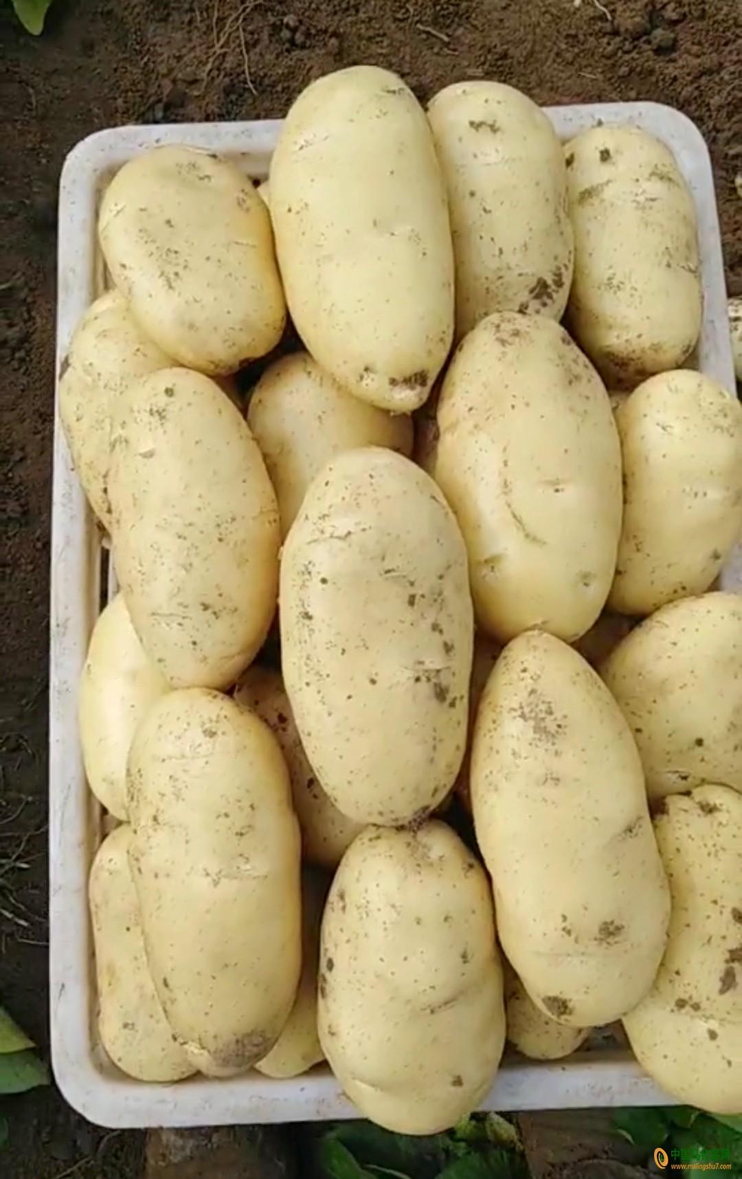 山东滕州界河荷兰十五土豆大量供应 ()