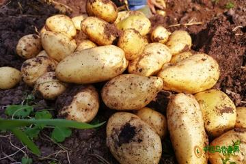 重庆:西南大学自育优质马铃薯品种