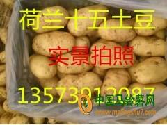 山东土豆产地荷兰十五土豆价格 ()