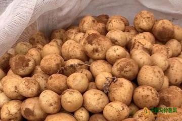 会理:冬作马铃薯亩产值达9000元