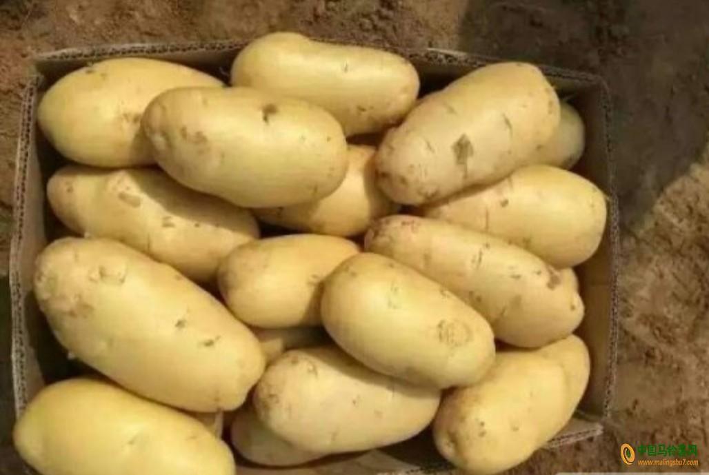 大量土豆出售,量大从优。 ()