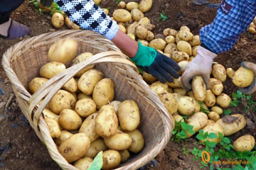 香厂村:百亩马铃薯丰收上市