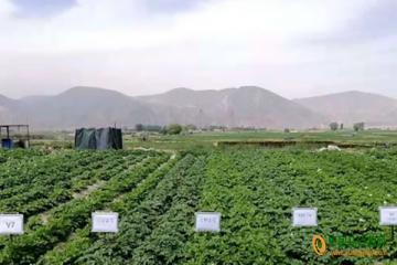临洮:开展马铃薯新品种引进试验
