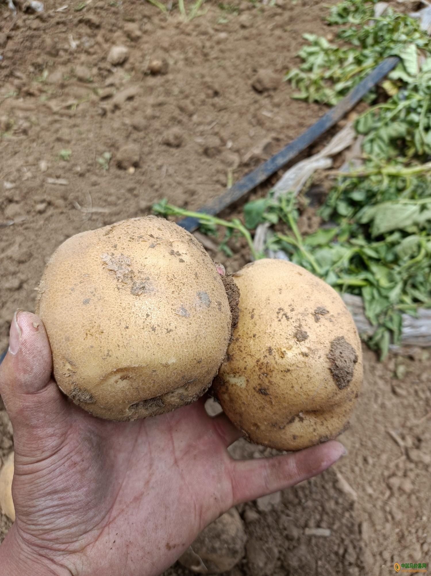淀粉土豆 ()