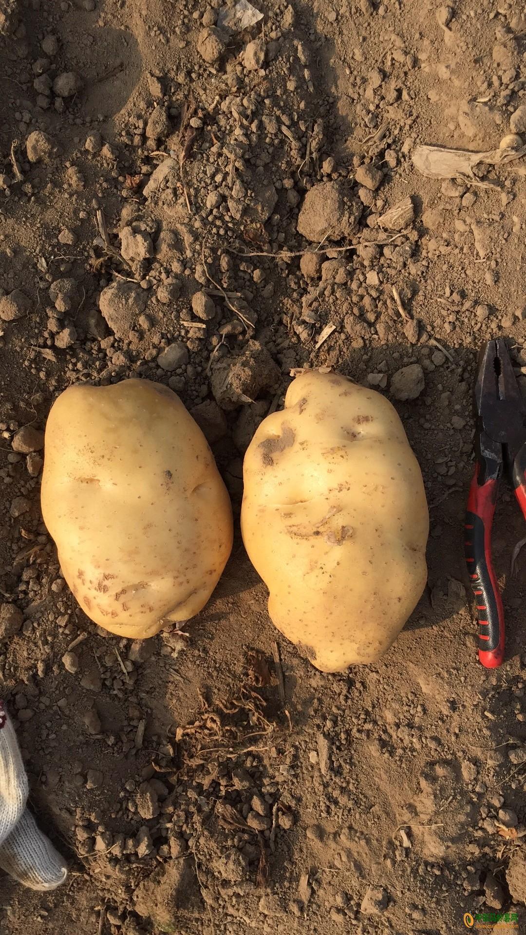 土豆 ()