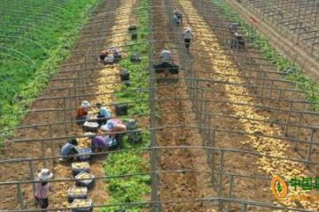 昌黎:15万亩马铃薯喜获丰收