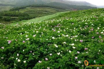 邵通:6000亩马铃薯花开甚为壮观