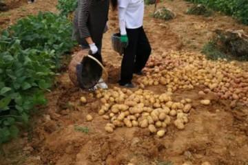 正宁:完成马铃薯品比试验收获考种工作 ()