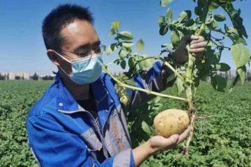 新疆:马铃薯新品种刷新高产记录 ()