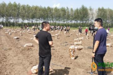 """榆林镇:千亩马铃薯迎来""""收获季"""" ()"""