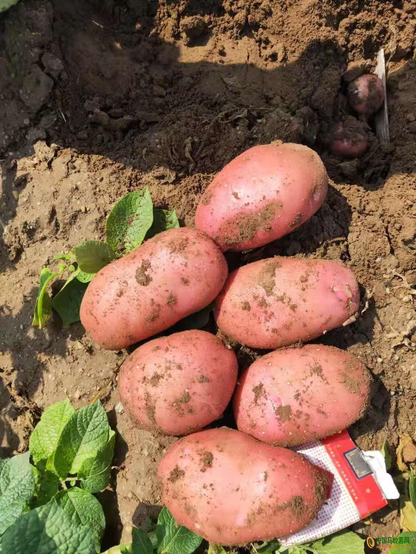 大量供应土豆 ()