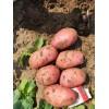 大量供应土豆