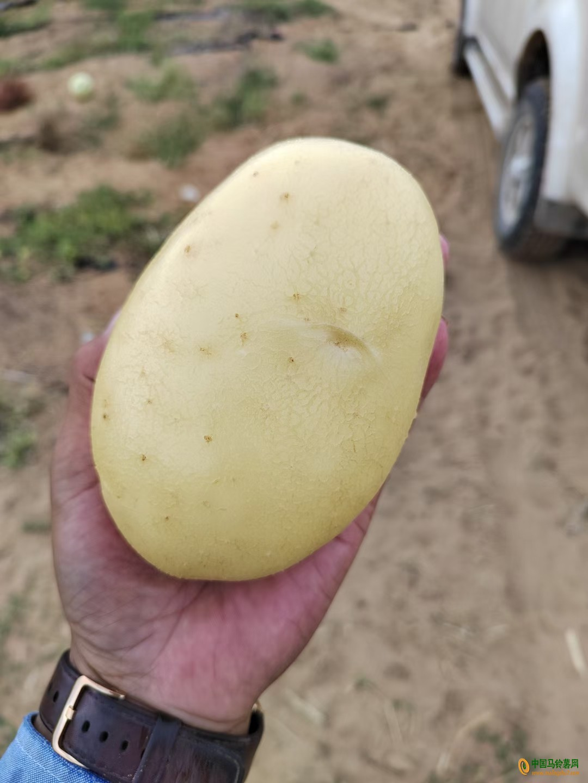陕北定边土豆 ()