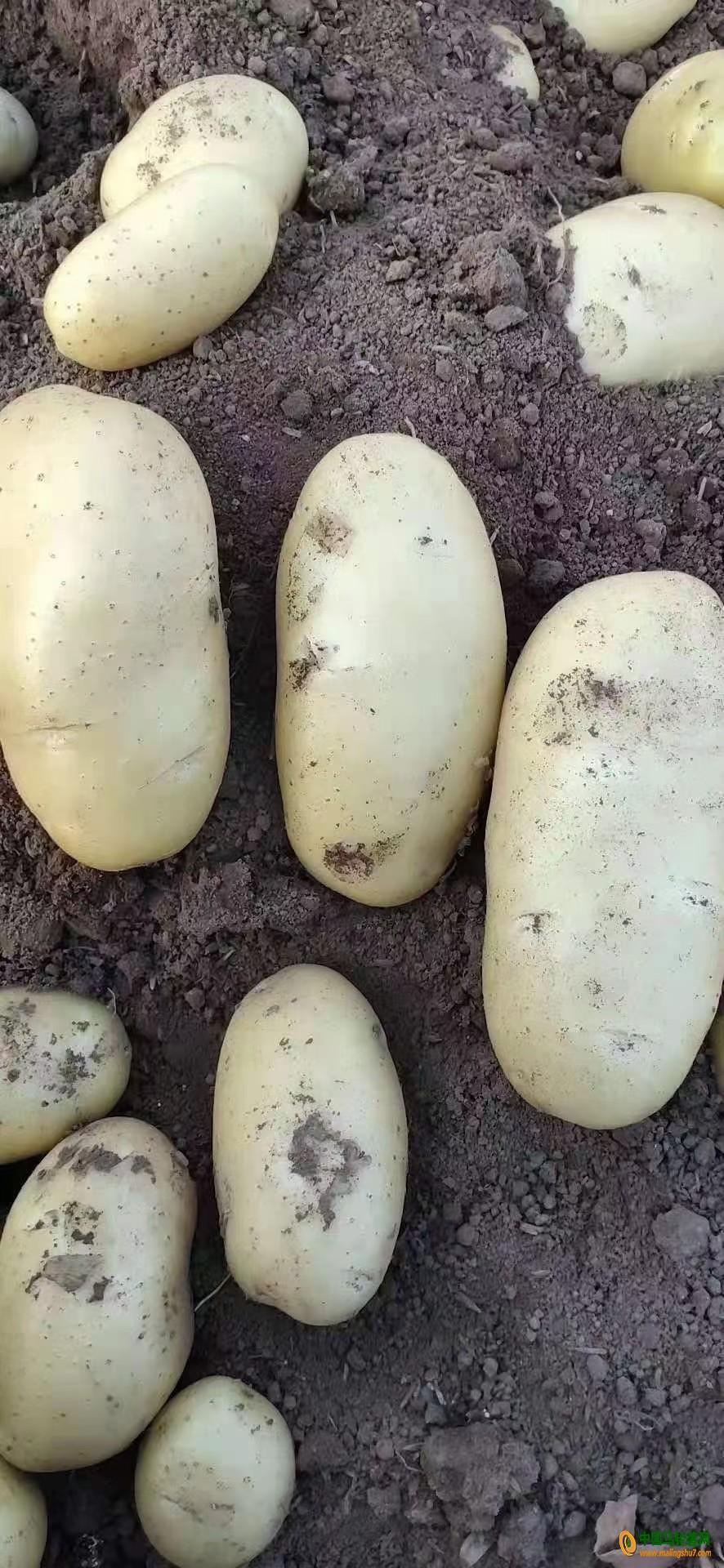 本人大量供应优质土豆,226 希森 雪川红 V7 ()