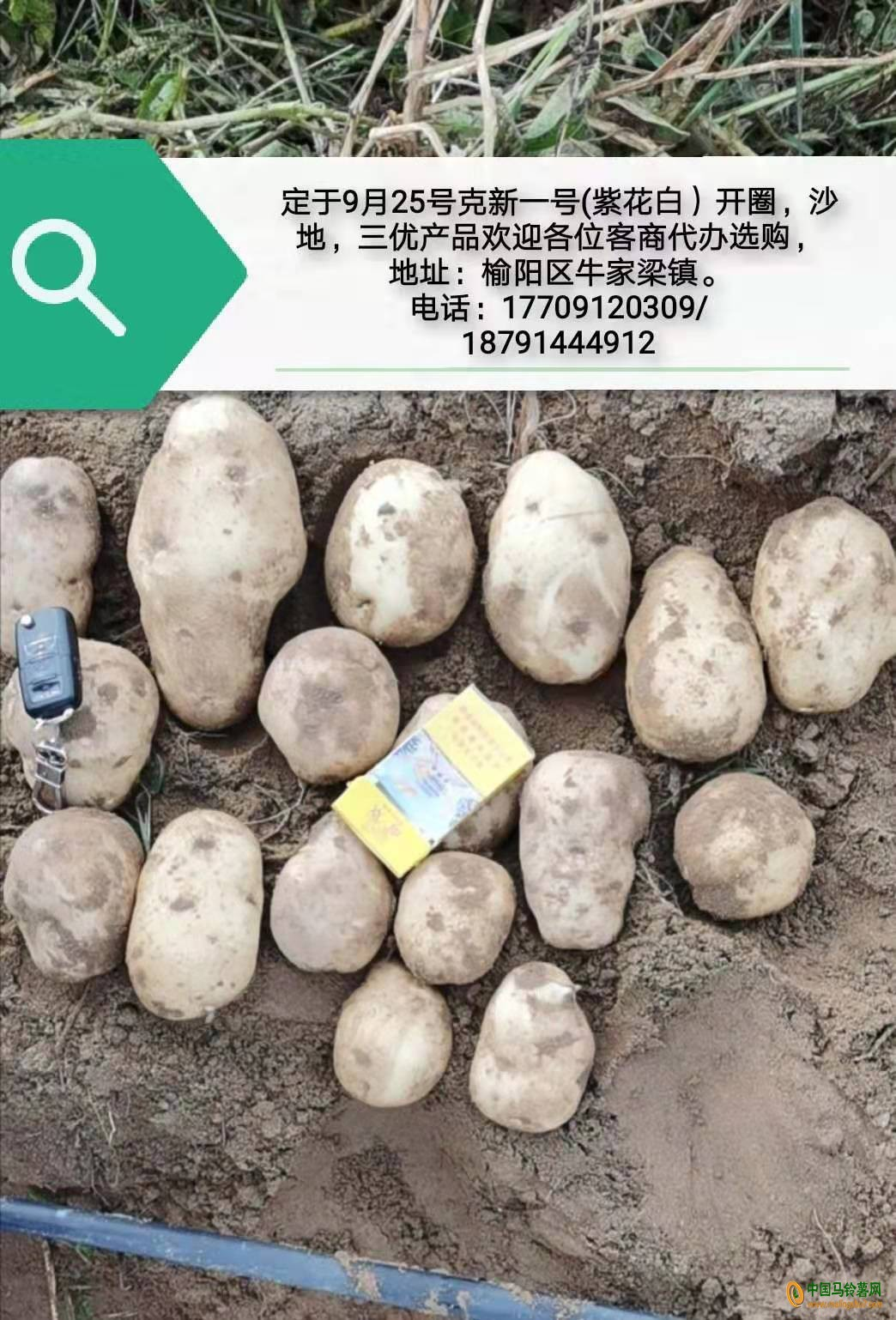 陕西榆阳区出售紫花白 ()