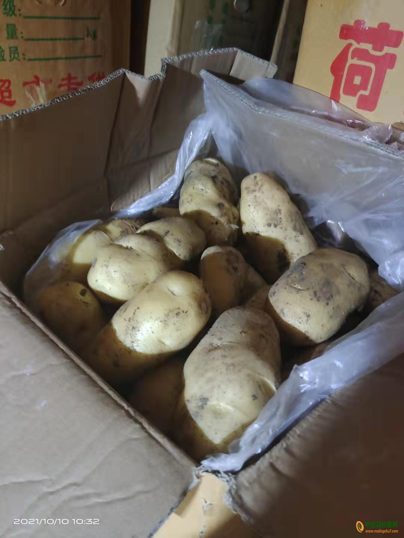 大量出售冷库土豆 ()